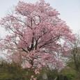 上北手の桜