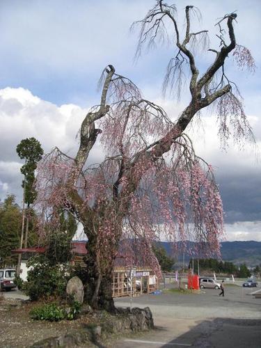 白兎のしだれ桜