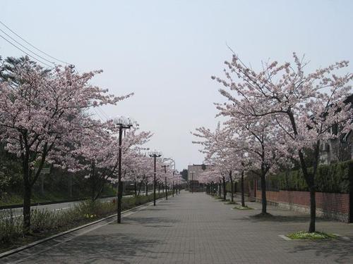 御所野の若い桜