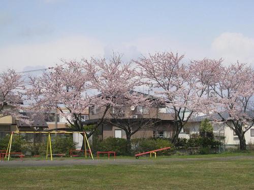 御野場中央公園の染井吉野