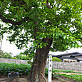 目長田の柿の木