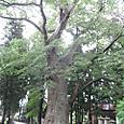 宝蔵寺の大ケヤキ